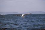 Dominikanermöwe gleitet über das Meer