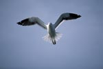 Dominikanermöwe fliegend über dem Meer