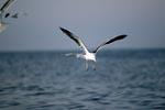 Dominikanermöwe hat Fischreste entdeckt