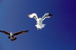 Dominikanermöwen im Landeanflug