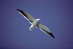 Dominikanermöwe mit ausgebreiteten Flügeln
