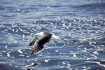 Dominikanermöwe über aufgewühltem Meer