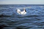 Dominikanermöwe dicht über dem Meer