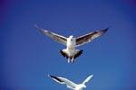 Dominikanermöwen im Anflug