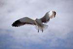 Dominikanermöwe setzt zur Landung an