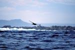 Subantarktikskua ueber den Wellen