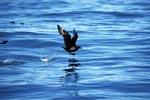 Subantarktikskua startet auf dem Wasser