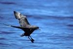 Subantarktikskua landet auf dem Wasser
