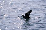 Subantarktikskua auf der Flucht