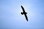 Fliegender Weißkinn-Sturmvogel