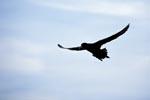 Weißkinn-Sturmvogel vor Dyer Island