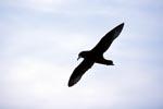 Weißkinn-Sturmvogel am Himmel vor Dyer Island