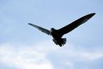 Ein Weißkinn-Sturmvogel scheint in der Luft zu stehen