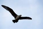 Weißkinn-Sturmvogel im Flug