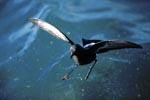 Buntfuß-Sturmschwalbe (Oceanites oceanicus)