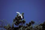 Fliegender Rotschwanz-Tropikvogel