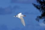Rotschwanz-Tropikvogel kehrt zurück an Land