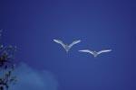 Fliegende Rotschwanz-Tropikvoegel