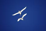 Zwei Rotschwanz-Tropikvögel am Midway Himmel