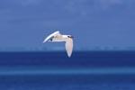 Rotschwanz-Tropikvogel ueber dem Meer