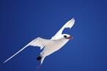 Rotschwanz-Tropikvogel am Midway Himmel