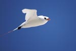 Rotschwanz-Tropikvogel im Flug