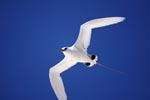 Rotschwanz-Tropikvogel am tiefblauen Midway Himmel