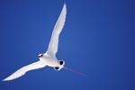 Flugkünstler Rotschwanz-Tropikvogel