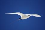 Rotschwanz-Tropikvogel im Gleitflug
