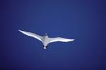 Rotschwanz-Tropikvogel hält Ausschau über dem Meer