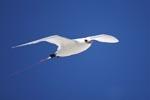 Rotschwanz-Tropikvogel über dem Meer