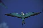 Fliegende Rußseeschwalbe