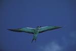 Rußseeschwalbe am Midway Himmel