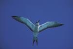 Fliegende Rußseeschwalbe mit ausgebreiteten Flügeln