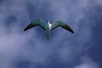 Fliegende Rußseeschwalbe (Sterna fuscata)