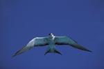 Rußseeschwalbe beobachtet die Meeresoberfläche