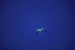 Rußseeschwalbe unterwegs im großen Blau