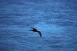 Noddy-Seeschwalbe ueber dem Meer