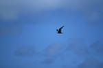 Fliegende Noddy-Seeschwalbe