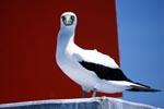Maskentoelpel ruht sich auf einem Seefahrtszeichen Turm aus