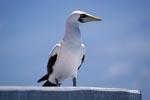 Maskentoelpel beobachtet von einem Seefahrtszeichen Turm das Meer