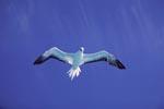 Rotfußtoelpel sucht Fischbeute ueber dem Midway Atoll