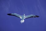 Rotfußtölpel am tiefblauen Midway Himmel