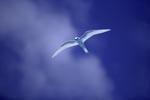 Feenseeschwalbe am Midwayhimmel