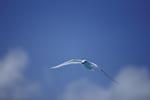 Anfliegende Feenseeschwalbe