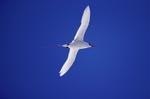 Rotschwanz-Tropikvogel auf dem Rückweg vom Meer