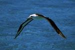 Laysan-Albatros ist erfolgreich gestartet