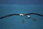 Fliegender Laysan-Albatros ueber dem Meer