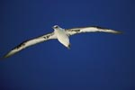 Laysan-Albatros gleitet ueber das Meer