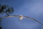 FliegenderLaysan-Albatros